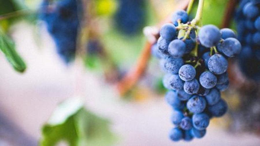 吃紫葡萄可以美白吗
